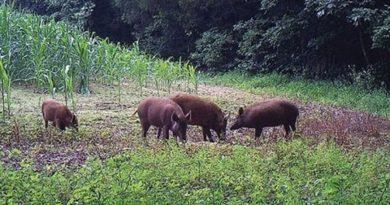 Porcii mistreţi au făcut ravagii în culturile de grâu şi porumb